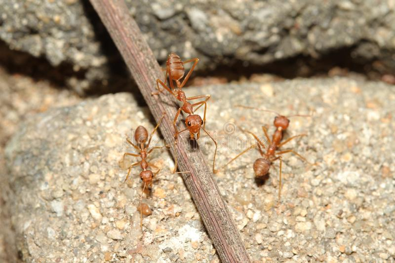 Oecophylla smaragdina Fabricius & x28;red ant& x29; on floor. Oecophylla smaragdina Fabricius & x28;red ant& x29; on floor stock photo