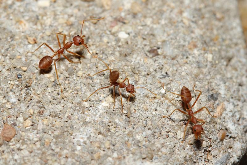 Oecophylla smaragdina Fabricius & x28;red ant& x29; on floor. Oecophylla smaragdina Fabricius & x28;red ant& x29; on floor royalty free stock images
