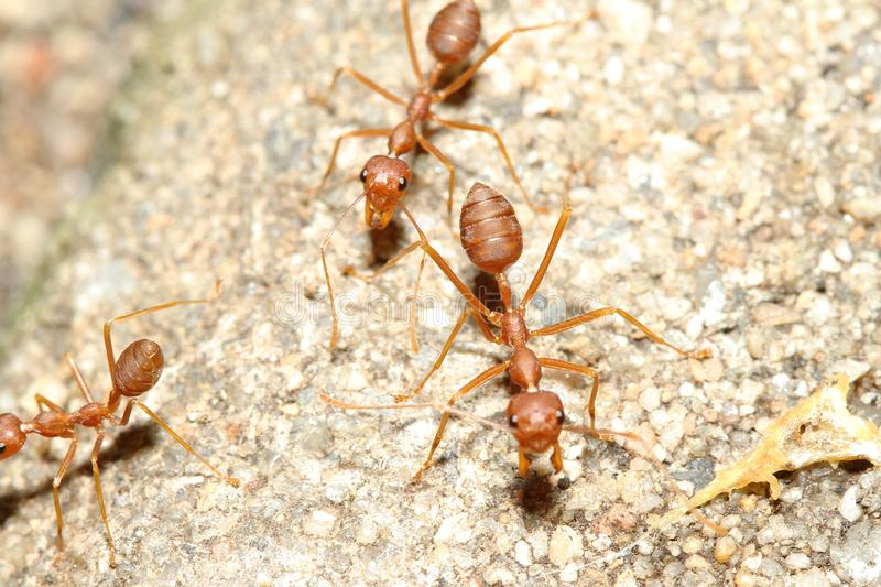 Oecophylla smaragdina Fabricius & x28;red ant& x29; on floor. Oecophylla smaragdina Fabricius & x28;red ant& x29; on floor stock photos