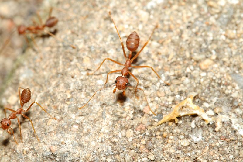 Oecophylla smaragdina Fabricius & x28;red ant& x29; on floor. Oecophylla smaragdina Fabricius & x28;red ant& x29; on floor royalty free stock image