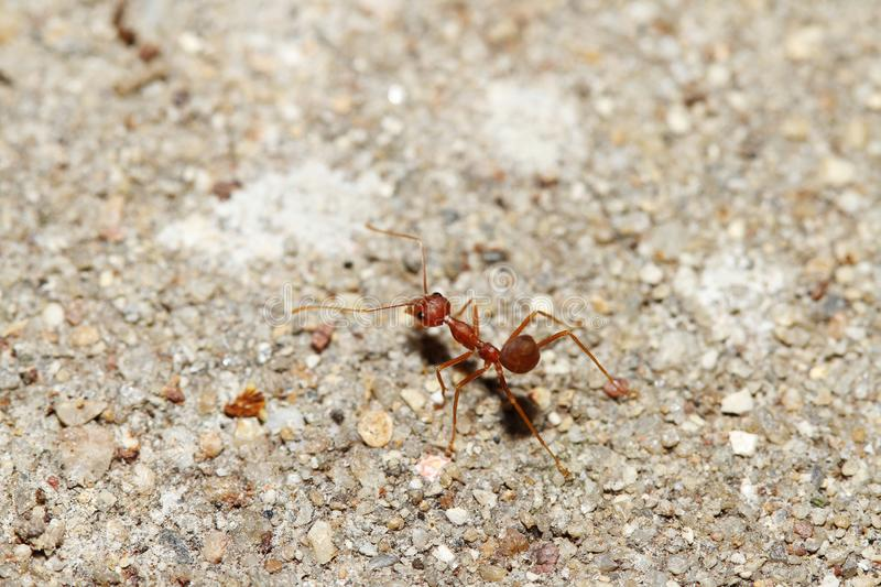 Oecophylla smaragdina Fabricius & x28;red ant& x29; on floor. Oecophylla smaragdina Fabricius & x28;red ant& x29; on floor royalty free stock photography
