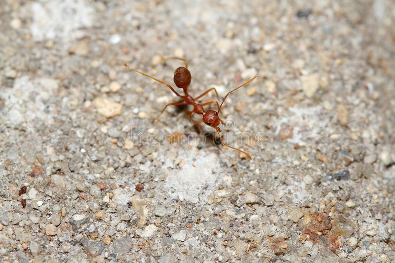 Oecophylla smaragdina Fabricius & x28;red ant& x29; on floor. Oecophylla smaragdina Fabricius & x28;red ant& x29; on floor stock photography