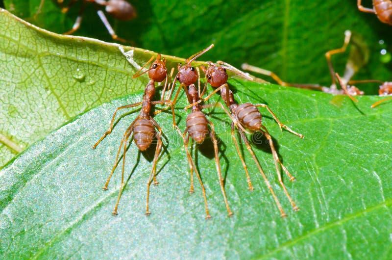 Oecophylla smaragdina (gemensamma namn inkluderar Weaver Ant,  arkivbild
