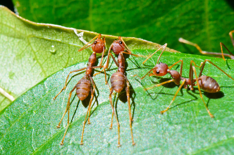 Oecophylla smaragdina (gemensamma namn inkluderar Weaver Ant,  royaltyfri bild
