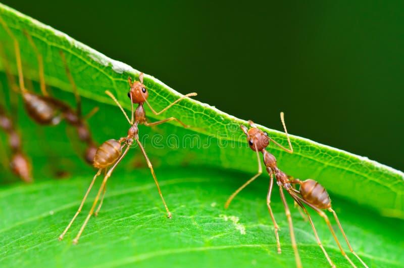 Oecophylla smaragdina (gemensamma namn inkluderar Weaver Ant,  royaltyfria foton