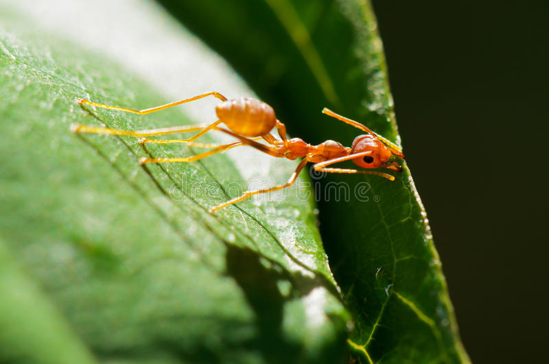 Oecophylla smaragdina (gemensamma namn inkluderar Weaver Ant, gör grön arkivbilder