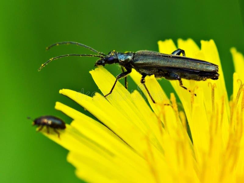 Oedemera virescens, beetle, common beetle on dandelion flower, stock images