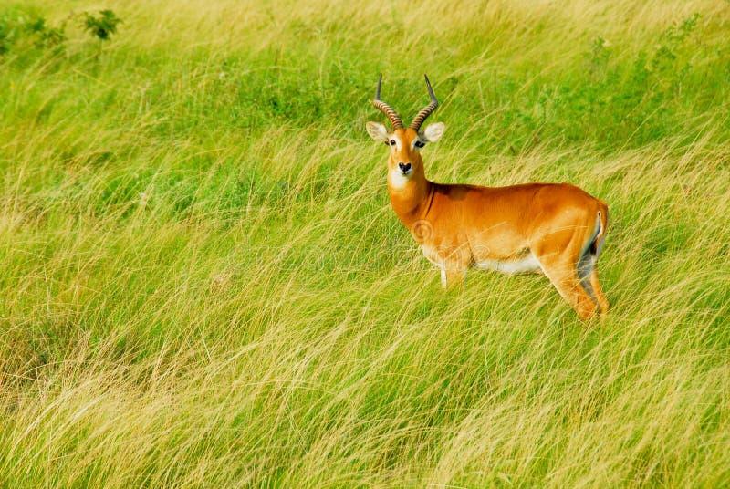 Oeganda Kob, Koningin Elizabeth National Park, Oeganda stock afbeelding