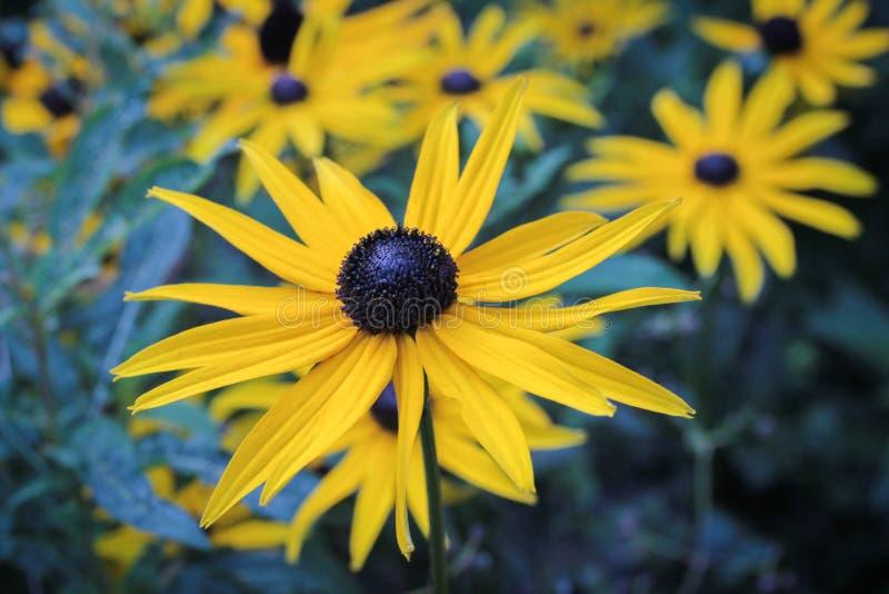 Oeil au beurre noir jaune lumineux susan image stock