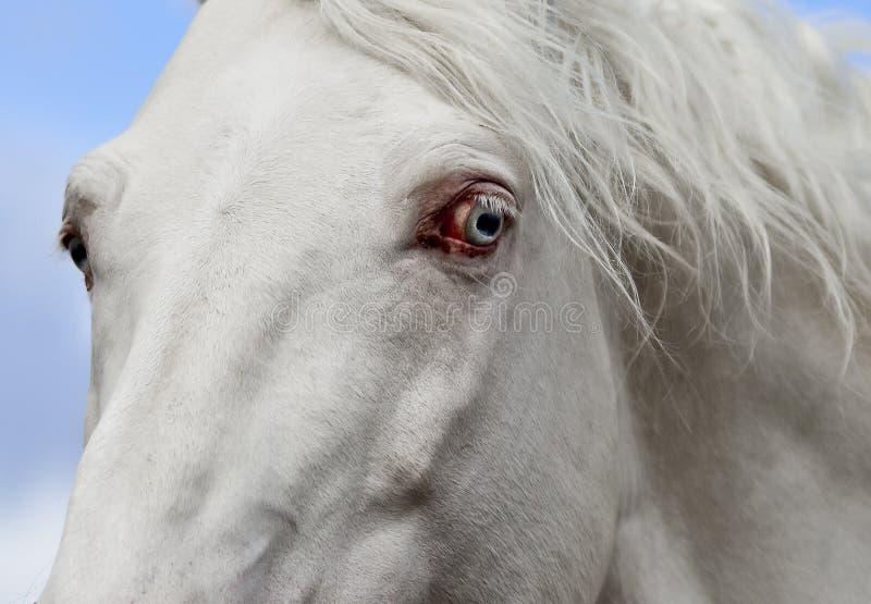 Oeil bleu d'un cheval blanc photos libres de droits