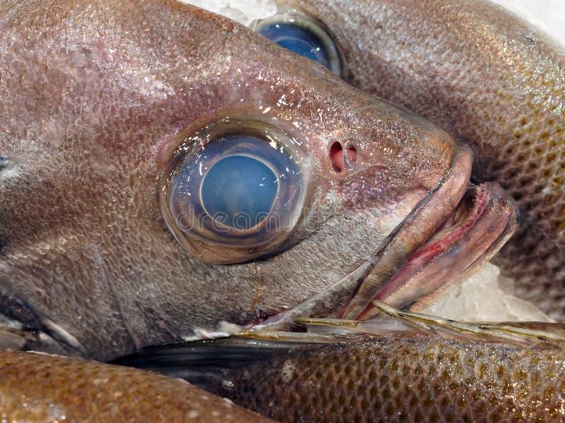 Oeil bleu sur des poissons de perche de perle, Sydney, Australie images stock
