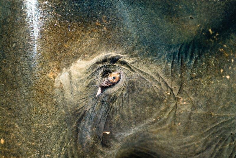 Oeil d'éléphants photographie stock