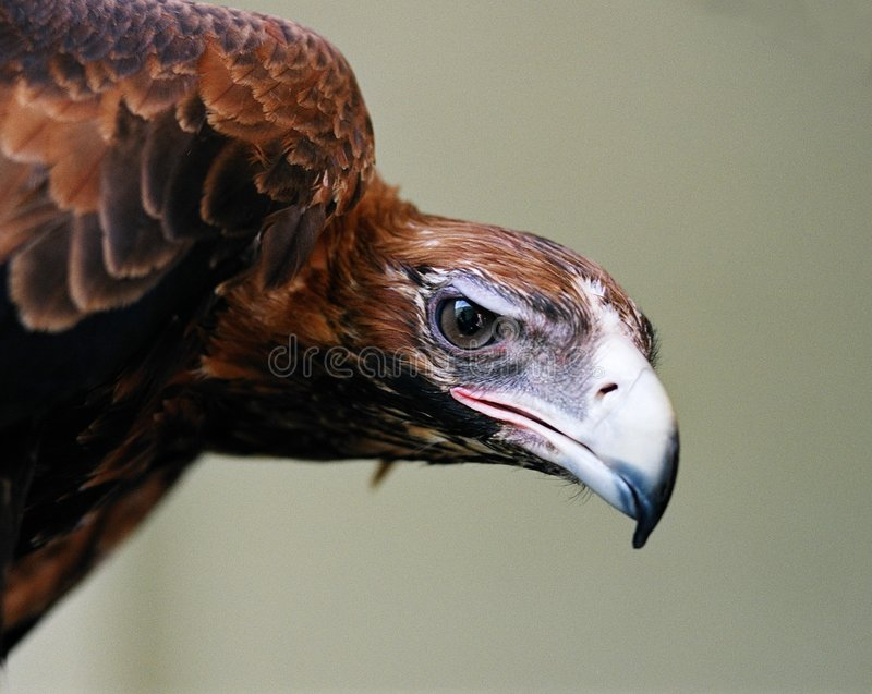 Oeil d'aigle image libre de droits