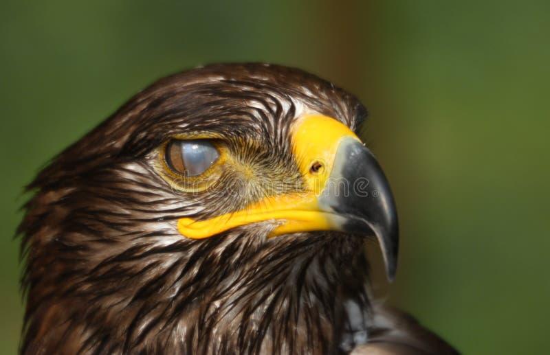 Oeil d'aigle de nettoyage passant le film spécial sur la cornée images libres de droits