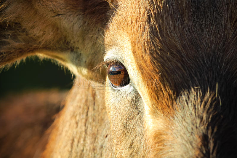 Oeil d'Antilope image stock