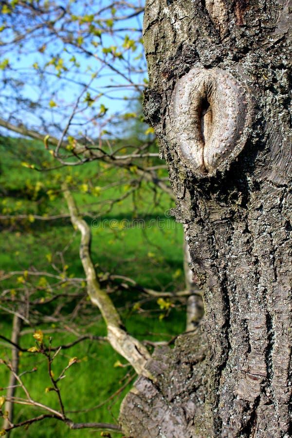 Oeil d'arbre dans l'écorce d'un vieil arbre photographie stock libre de droits