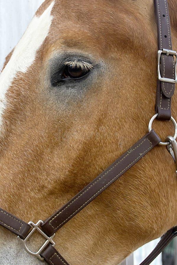 Oeil d'un cheval de trait de la Belgique images libres de droits