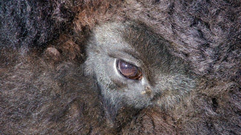 Oeil de bison image stock