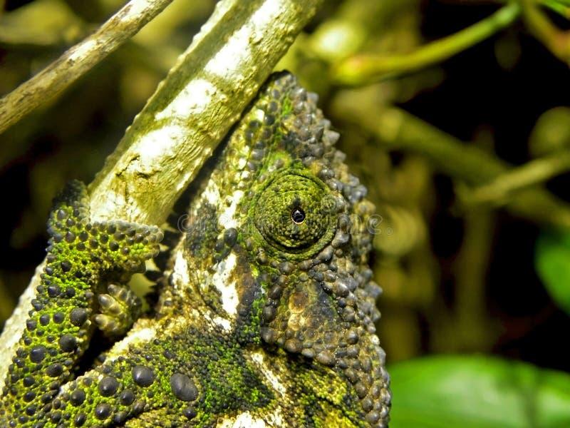 Oeil de caméléon photo libre de droits