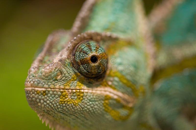 Oeil de caméléon photographie stock