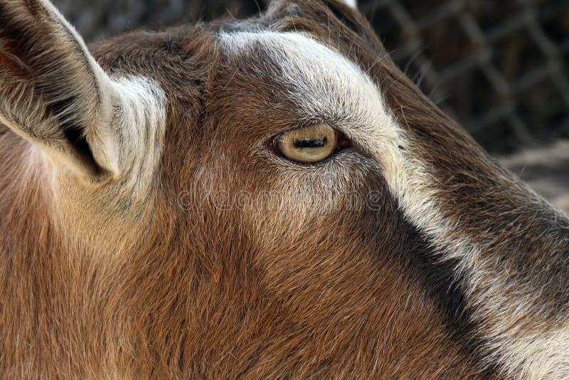 Oeil de chèvre photo libre de droits