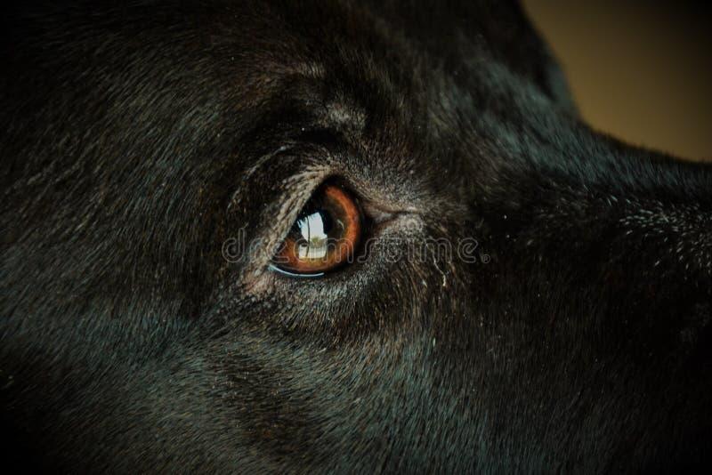 Oeil de chiens image libre de droits