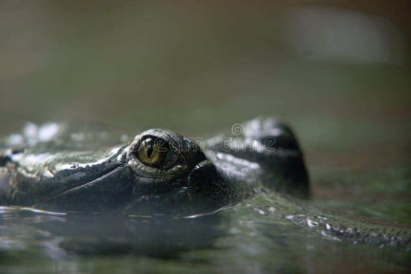 oeil de crocodile dans le ZOO de Prague photos stock