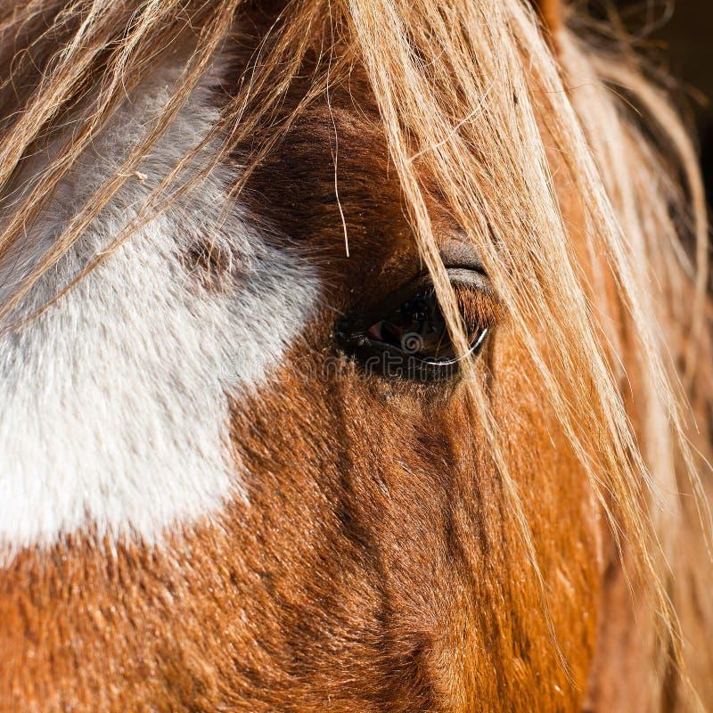 Oeil de détail de cheval de ferme photo stock