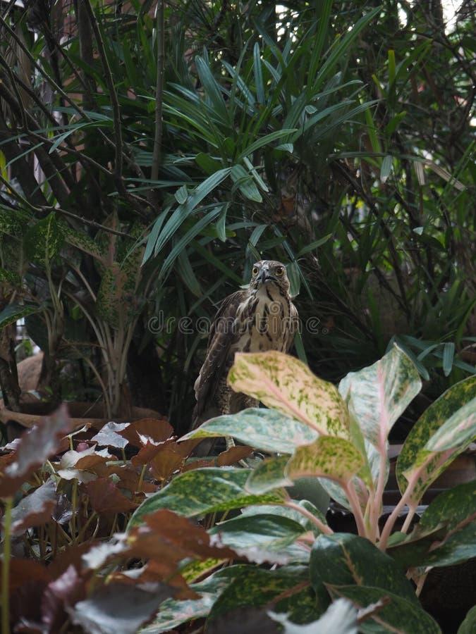 Oeil de faucon dans mon jardin photos libres de droits