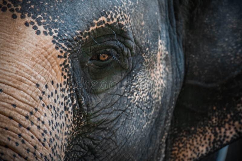 Oeil de maximus d'elephas d'éléphant asiatique Fermez-vous vers le haut de la vue image libre de droits