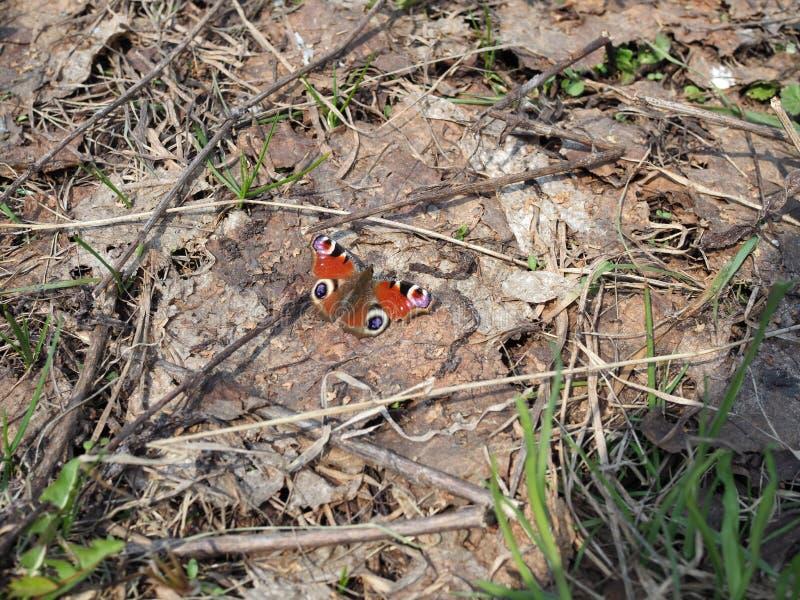 Oeil de paon de papillon au sol couvert de vieux feuillage une journée de printemps ensoleillée photos libres de droits