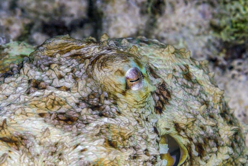 Oeil de poulpe photographie stock
