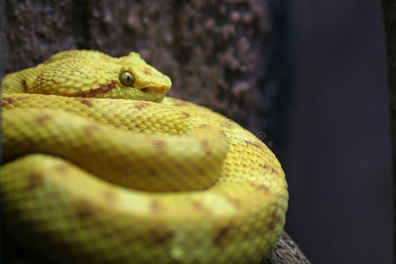 Oeil de serpent photo libre de droits