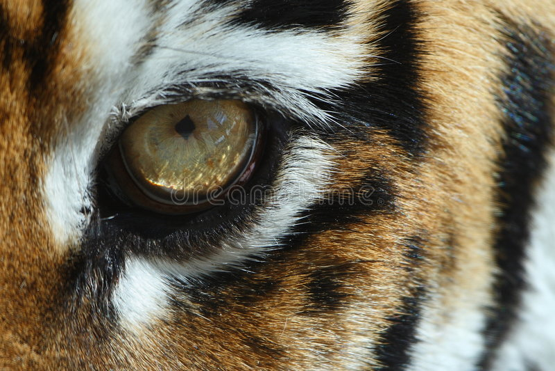 Oeil de tigre image stock