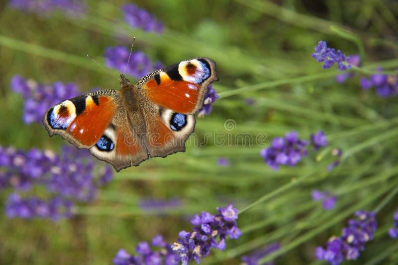 Oeil lumineux de paon de papillon d'été sur les fleurs pourpres sensibles de la lavande photos stock