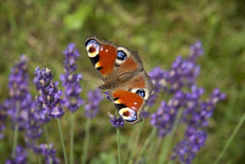 Oeil lumineux de paon de papillon d'été sur les fleurs pourpres sensibles de la lavande photographie stock libre de droits