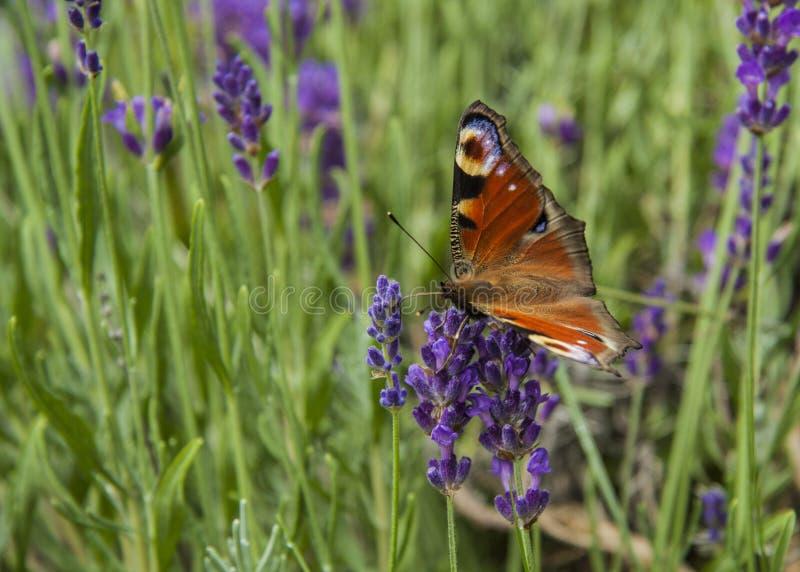 Oeil lumineux de paon de papillon d'été sur les fleurs pourpres sensibles de la lavande photographie stock
