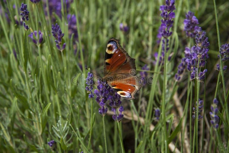 Oeil lumineux de paon de papillon d'été sur les fleurs pourpres sensibles de la lavande images libres de droits