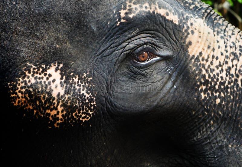 Oeil pleurant de focalisation de larme d'un éléphant image stock