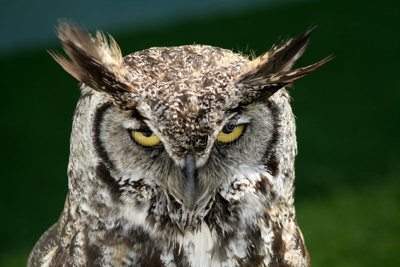 Download Oeil sur vous image stock. Image du avien, plumage, oiseau - 739717