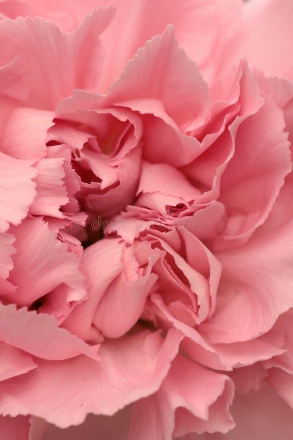Download Oeillet photo stock. Image du rouge, cadeau, beauté, centrale - 2147838