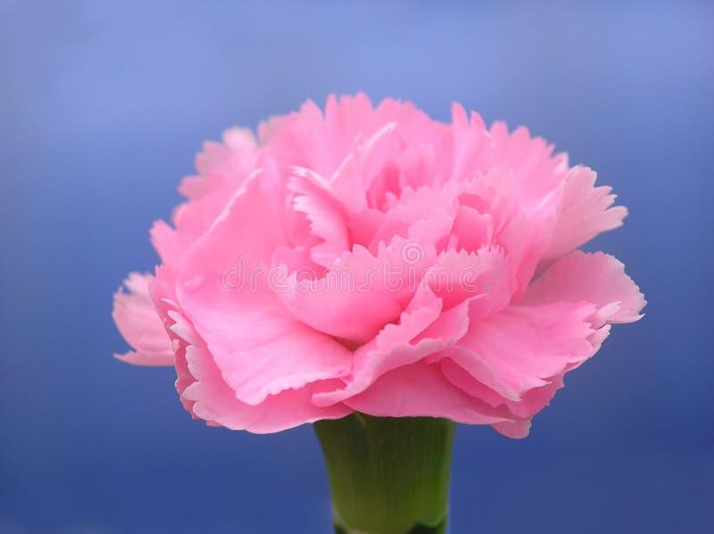 Download Oeillet rose image stock. Image du pétale, cadeau, macro - 737529