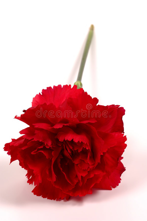 Oeillet rouge images stock