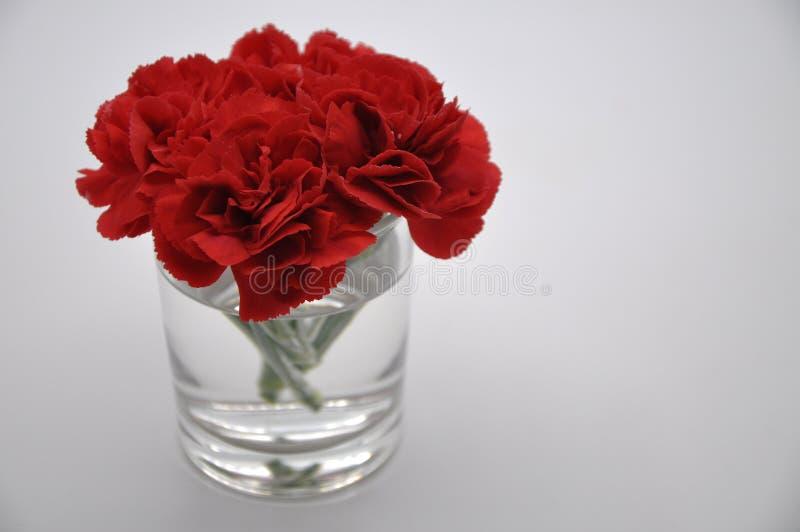 Oeillet rouge Fleurs rouges avec le fond blanc Oeillet Caryophyllus photos libres de droits