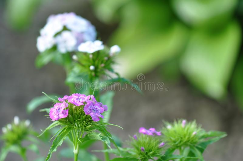 oeillets image stock