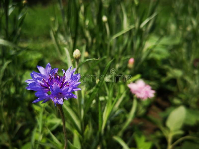 oeillets images stock