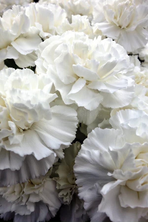 Oeillets blancs photo stock
