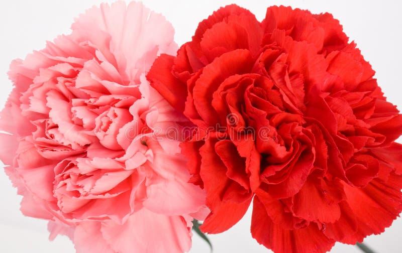 oeillets rouge-rose photographie stock libre de droits