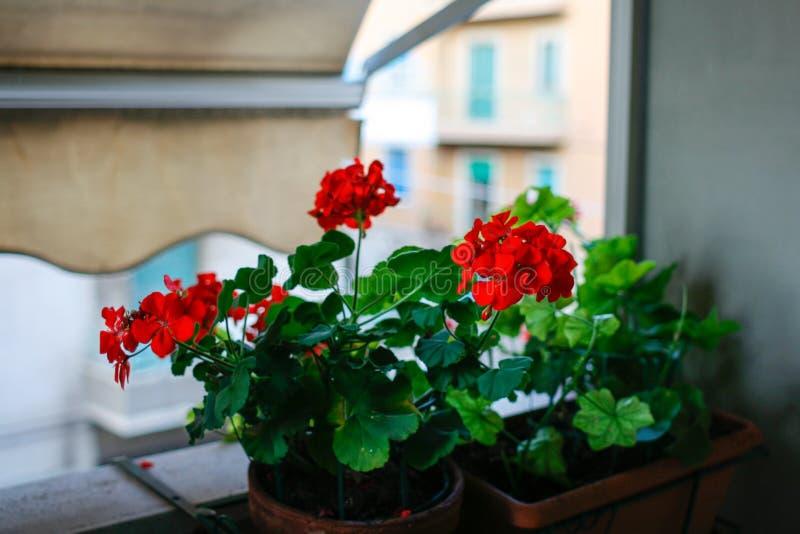 Oeillets sur un balcon entre les bâtiments photographie stock libre de droits