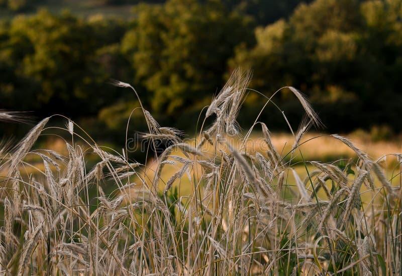 Oekraïens de zomerlandschap met tarwegebieden en blauwe hemel stock afbeelding